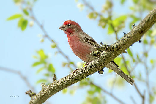 Male House Finch Perched by Brian Wallace