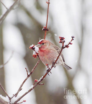 Male House Finch with a Snow Cap by Kerri Farley