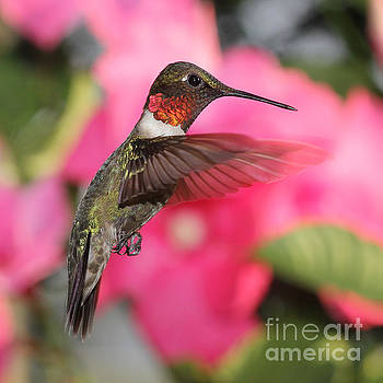 Male Hummingbird in Flight by Ramona Edwards