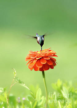 Male Hummingbird by Lila Fisher-Wenzel
