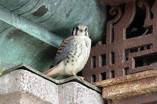 Male Kestrel in Providence by Peter Green