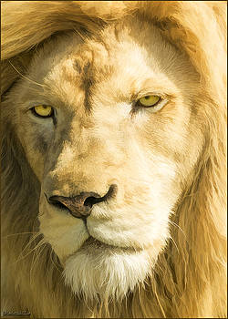 LeeAnn McLaneGoetz McLaneGoetzStudioLLCcom - Male Lion