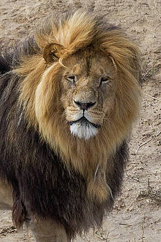 Male Lion Portrait by Kimberly Blom-Roemer