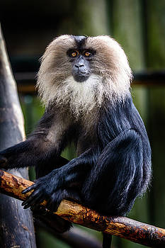 Male lion-tailed macaque by Libor Vrska