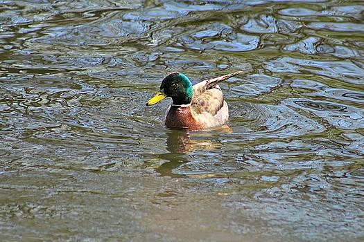 Andrew Davis - Male Mallard Duck in Water