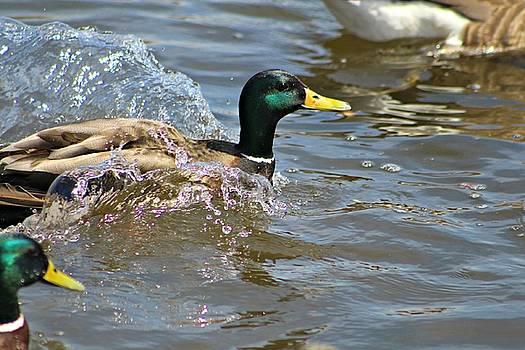 Andrew Davis - Male Mallard Duck Making Waves in Water