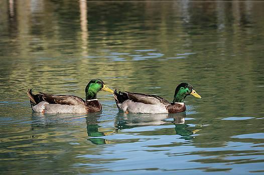 Male Mallard Ducks-_MG_448418 by Rosemary Woods-Desert Rose Images