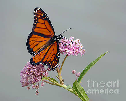 Male Monarch Butterfly by Catherine Sherman