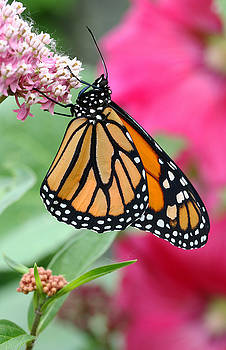 Male Monarch by Steve Augustin