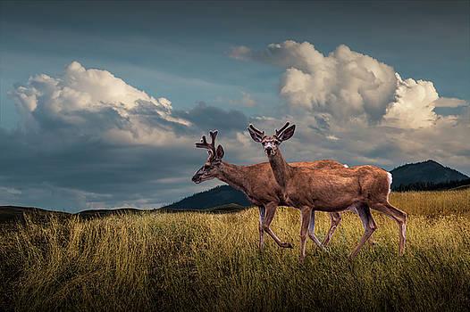 Randall Nyhof - Male Mule Deer with Velvet Antlers