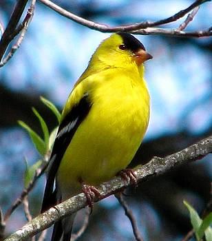 Angela Davies - Male North American Goldfinch