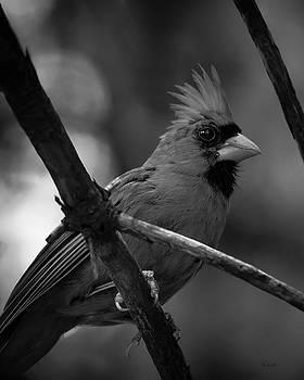 Male Northern Cardinal by Bob Orsillo