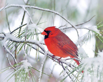 Male Northern Cardinal in the March Snow by Kerri Farley
