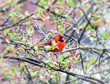 Male Northern Cardinal - In The Pink by Kerri Farley