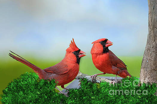 Male Northern Cardinals in Spring by Bonnie Barry