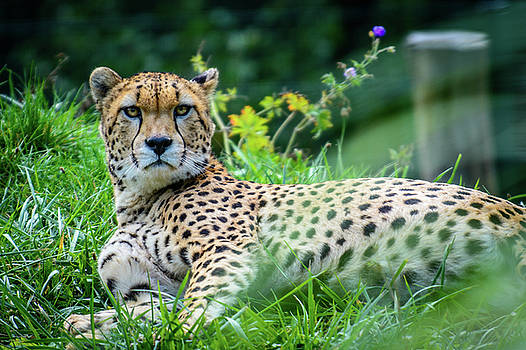 Male of Sudan cheetah by Libor Vrska