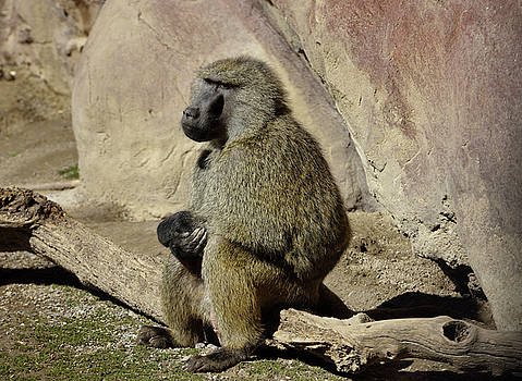 Reimar Gaertner - Male Olive Baboon sitting still on a log with clasped hands and