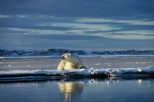 Reimar Gaertner - Male polar bear lying on Barter Island sniffing air at Kaktovik