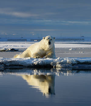 Reimar Gaertner - Male polar bear lying on Barter Island watching at Kaktovik Eski