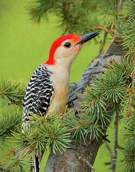 Male Red Bellied Woodpecker in a tree by Jerry Deutsch