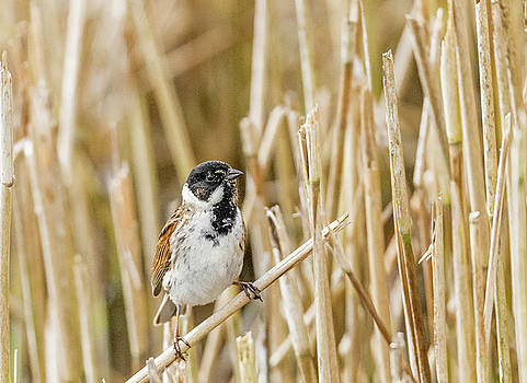 Male Reed Bunting  by Darren Wilkes