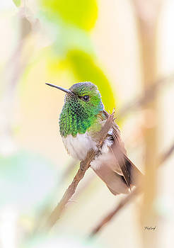 Male Snowy-bellied Hummingbird by Fred J Lord