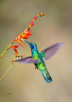 Male Green Violetear Hummingbird by Fred J Lord