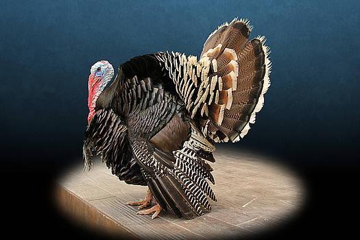 Male Turkey Strutting by Debi Dalio