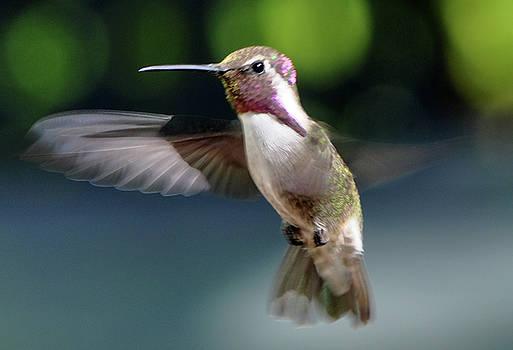 Male White Eared Hummingbird by Jay Milo
