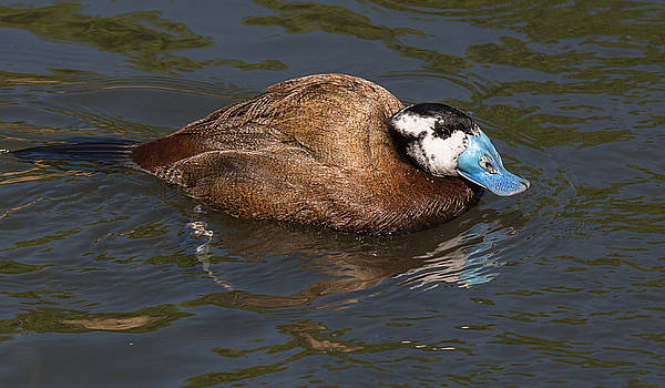 Dee Carpenter - Male White-Headed Duck