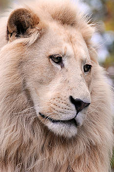Male White Lion ... Thabo by Stephie Butler