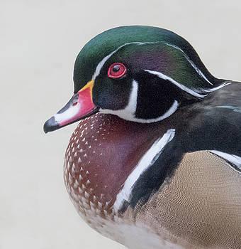 Male Wood Duck Head by Jack Nevitt