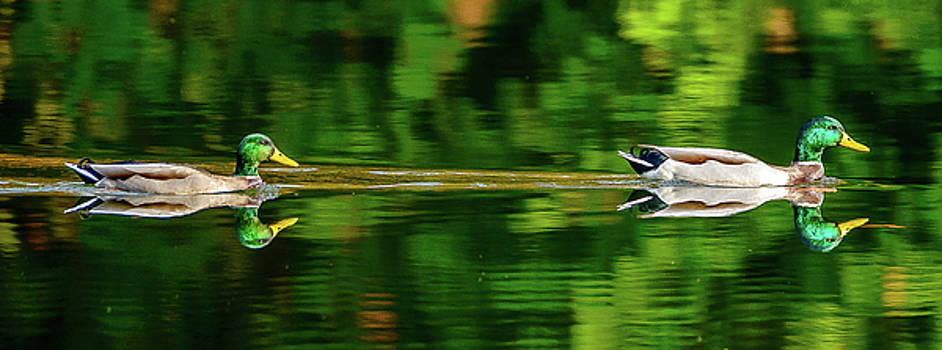 Mallard reflections by Jerry Cahill