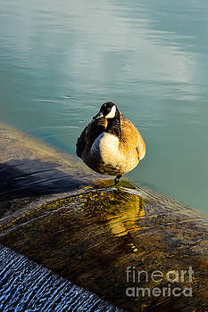 Female Geese 01 by Kip Vidrine