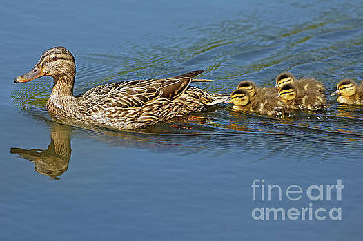 Mallard and Ducklings by Natural Focal Point Photography