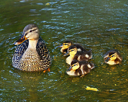 Mallard and Ducklings by Susan Leggett