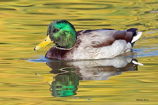 Mallard Drake on Golden Pond by Stephen  Johnson