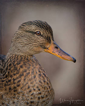 Mallard Duck - 4157,ST by Wally Hampton