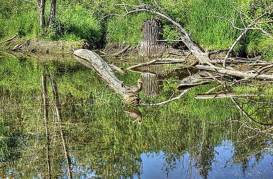 Mallard Duck by Jim Sauchyn