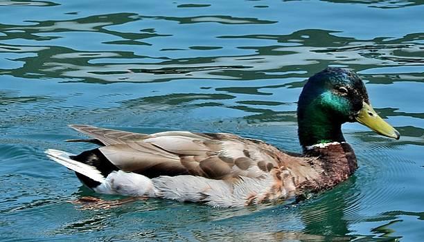 Mallard Duck - Male by Mikel Classen
