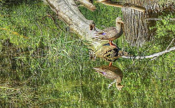 Mallard Duck on Log by Jim Sauchyn