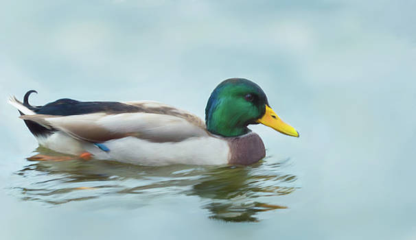 Garvin Hunter - Mallard Duck on the Water