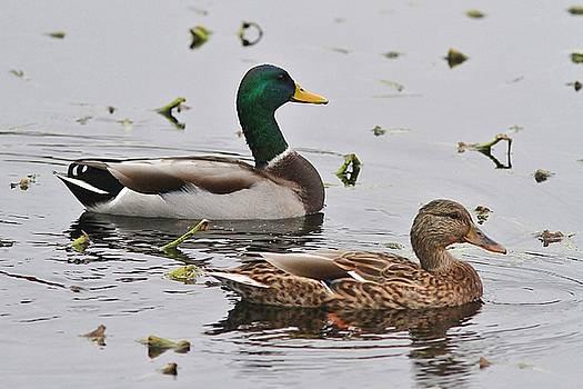 Mallard Duck pair swimming by Linda Crockett