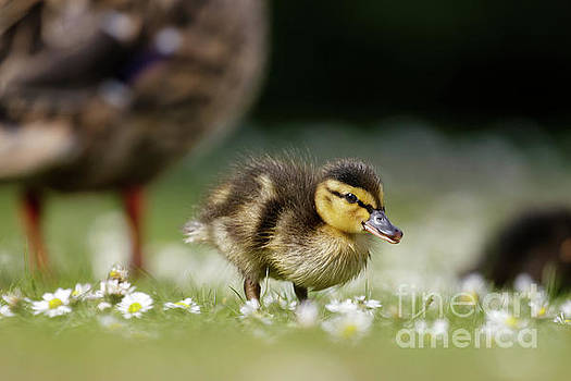 Mallard ducklings - Anas platyrhynchos - grazing feeding among dai by Paul Farnfield