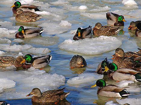 Juergen Roth - Mallard Ducks