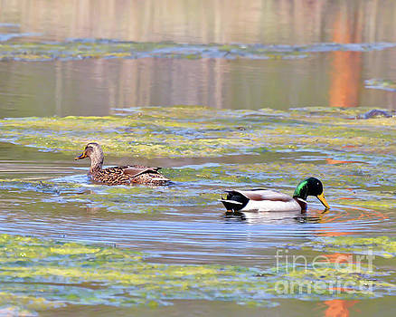 Mallard Ducks On The Pond by Kerri Farley