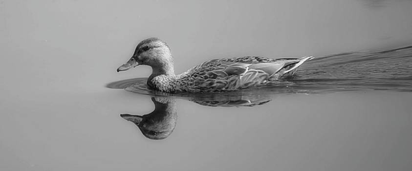 Mallard Female Duck by Sherman Perry