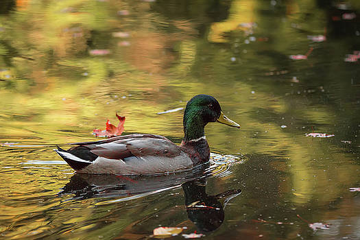 Mallard in Autumn by Keith Boone