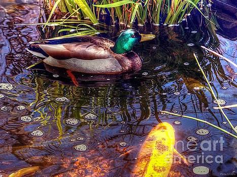 Mallard In The Koi Pond by Dani Stites