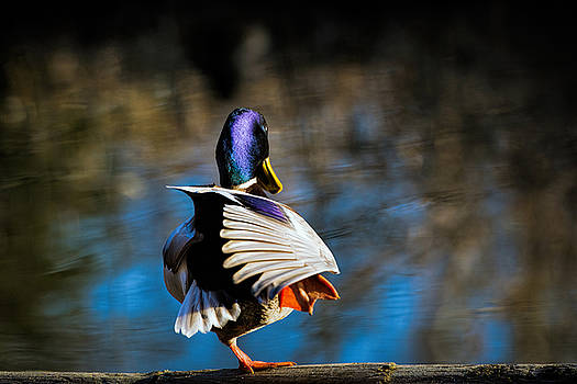 Mallard by Michele Wright